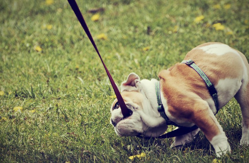 How to Train your Bulldog?